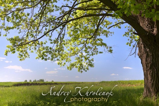 Крона дуба и вид на поле © Фотограф Андрей Хроленок
